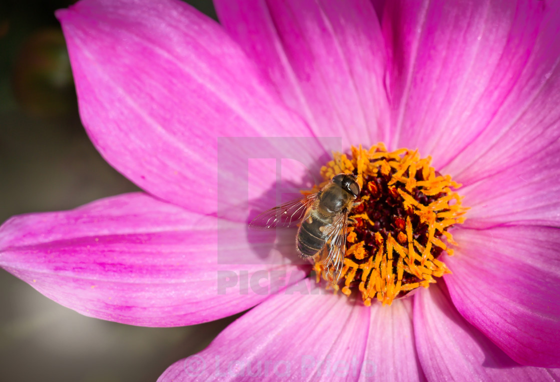 """""""Wasp in pink flower"""" stock image"""