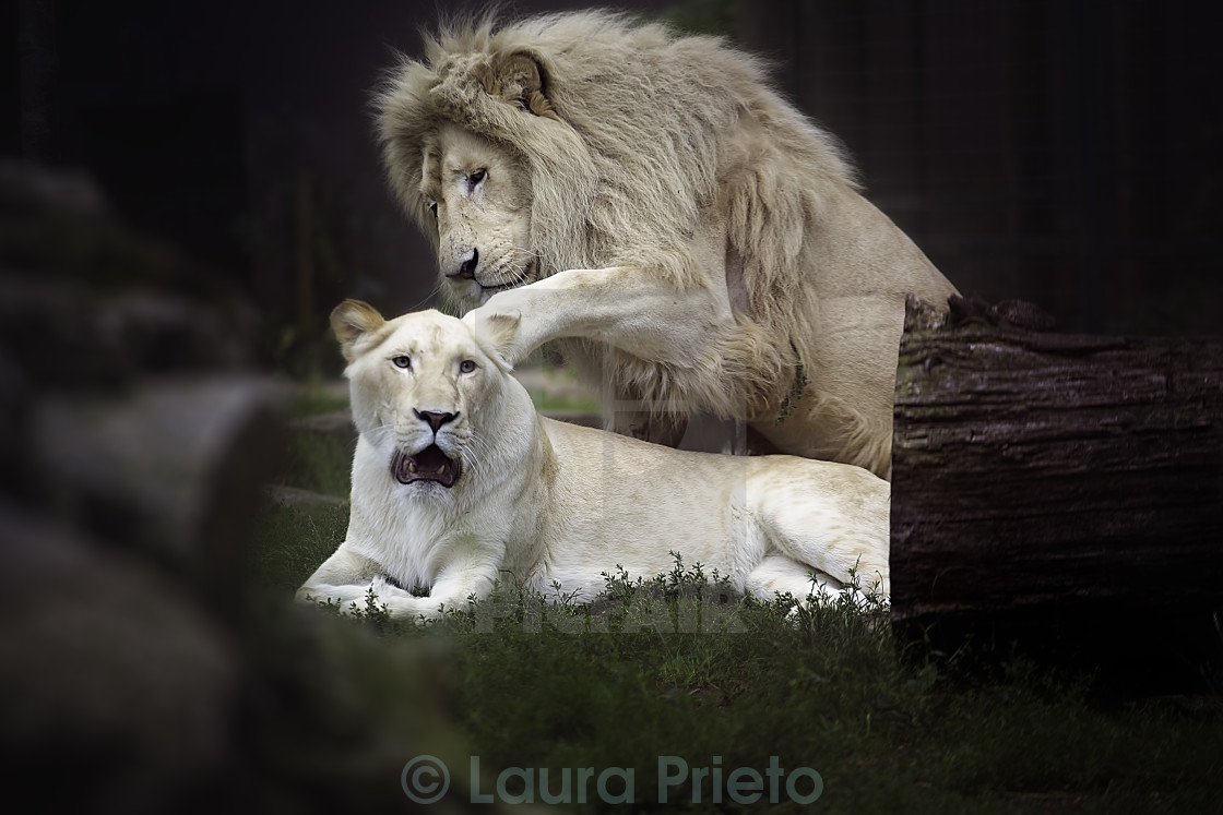 """""""Lions playing"""" stock image"""