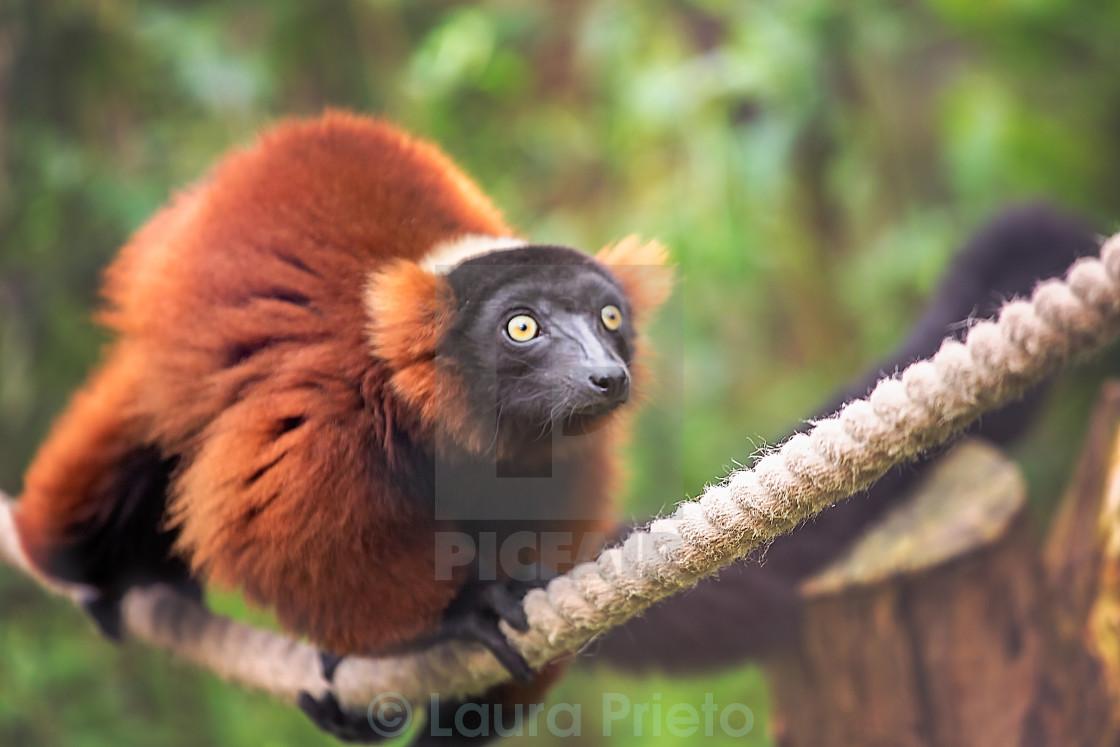 """Lemur"" stock image"