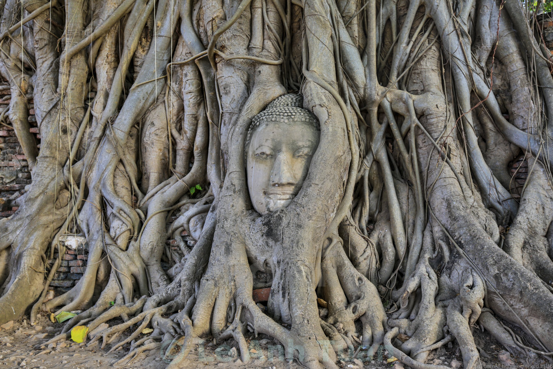 """""""Buddha Head in Tree Roots"""" stock image"""
