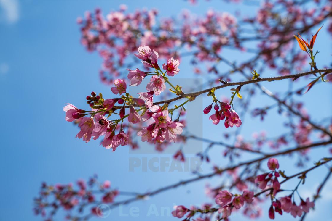 """""""Sakurra flower"""" stock image"""