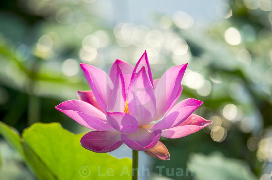 """The lotus"" stock image"