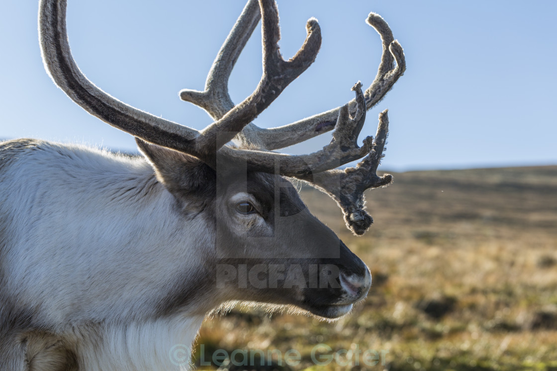 """Portrait of a Reindeer"" stock image"