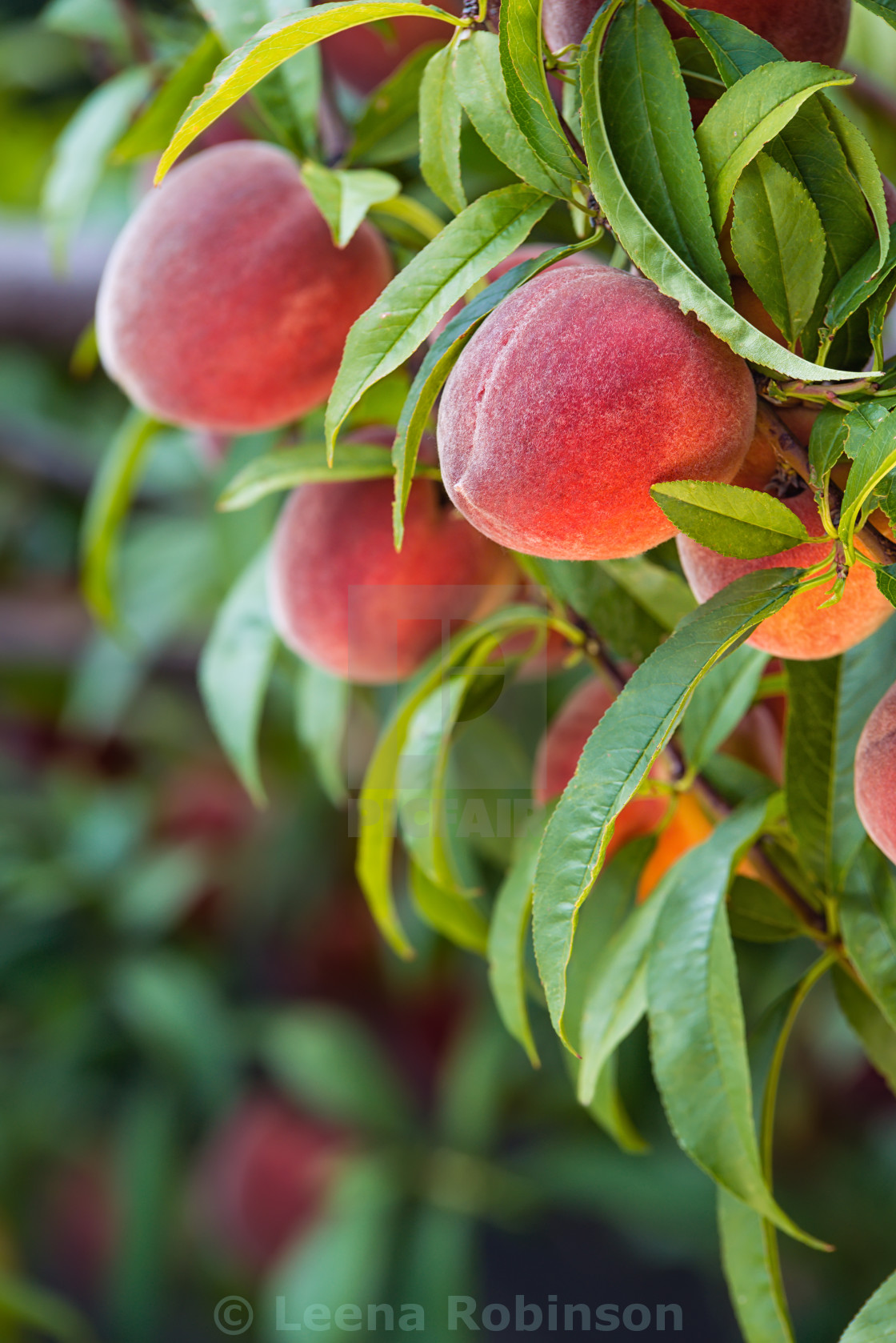 """Peach tree fruits"" stock image"