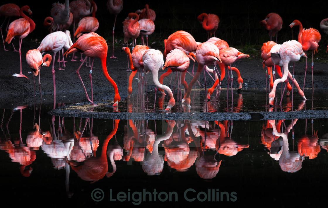 """Pink Flamingos"" stock image"