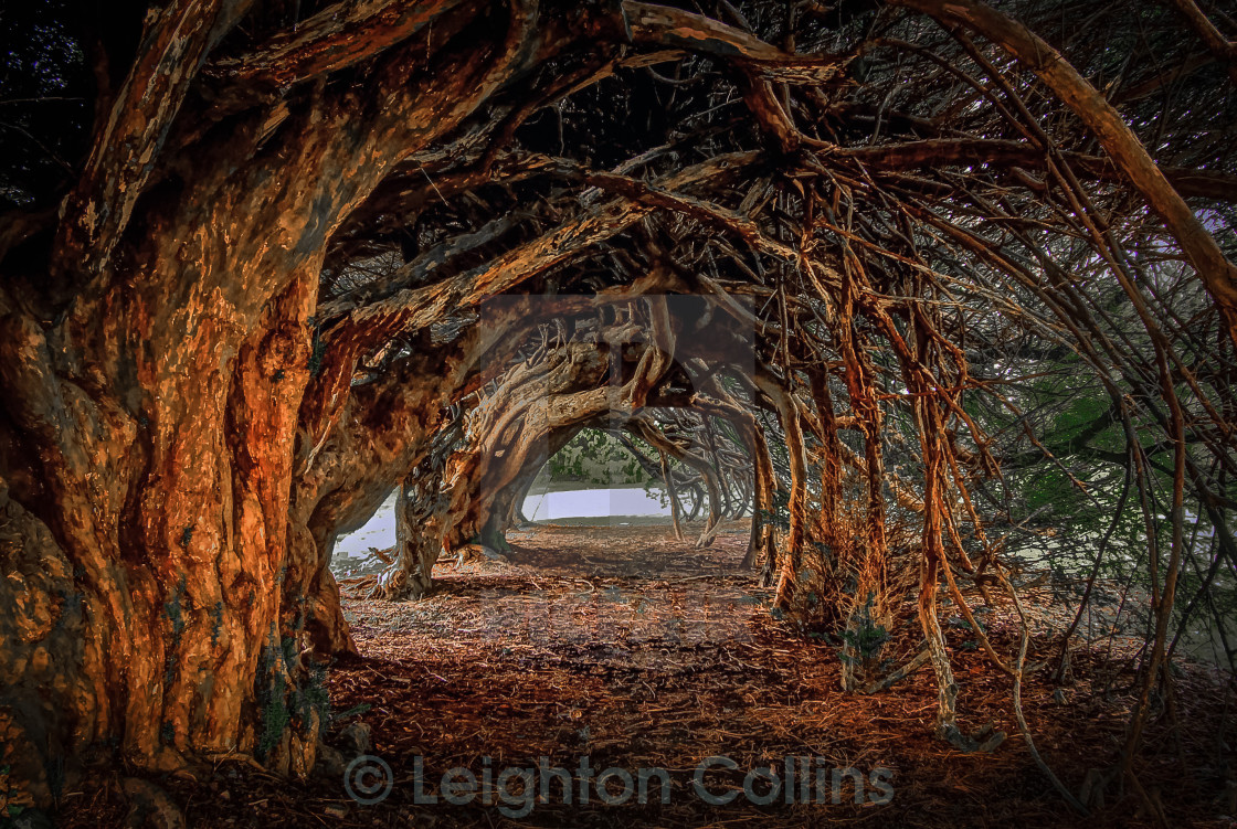 """1000 year old yew tree at Aberglasney gardens"" stock image"