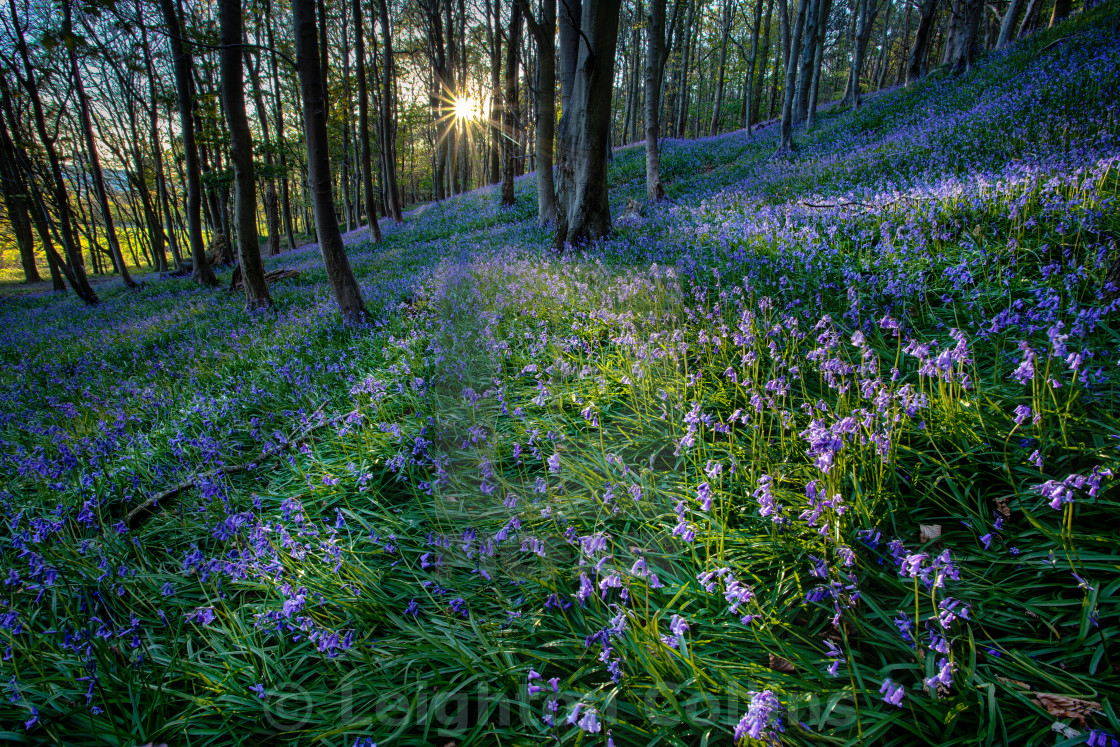 """Bluebell sunset at Margam woods"" stock image"