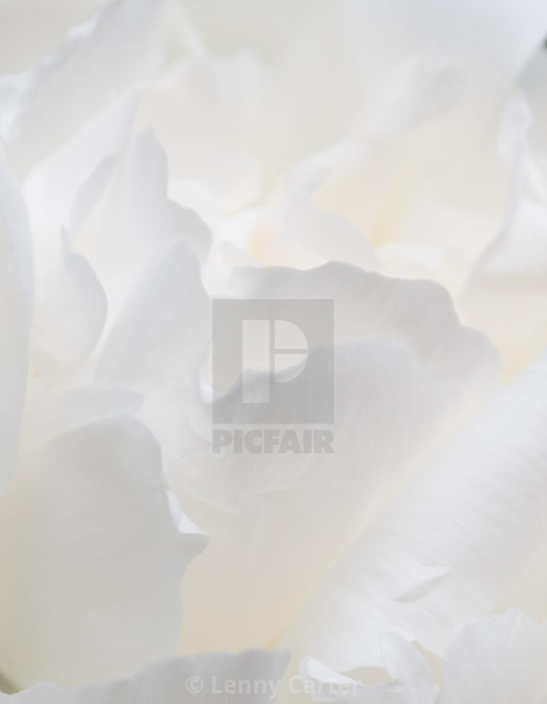 """Close up of Peonies"" stock image"