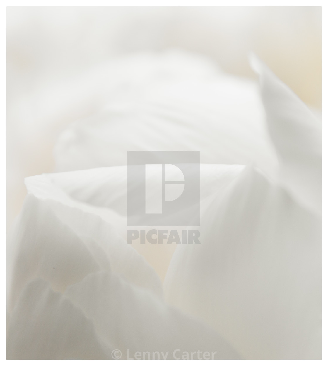 """Close up of Peonies"" stock image"
