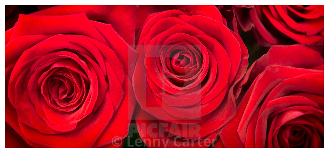 """Red Roses - Grand Prix"" stock image"