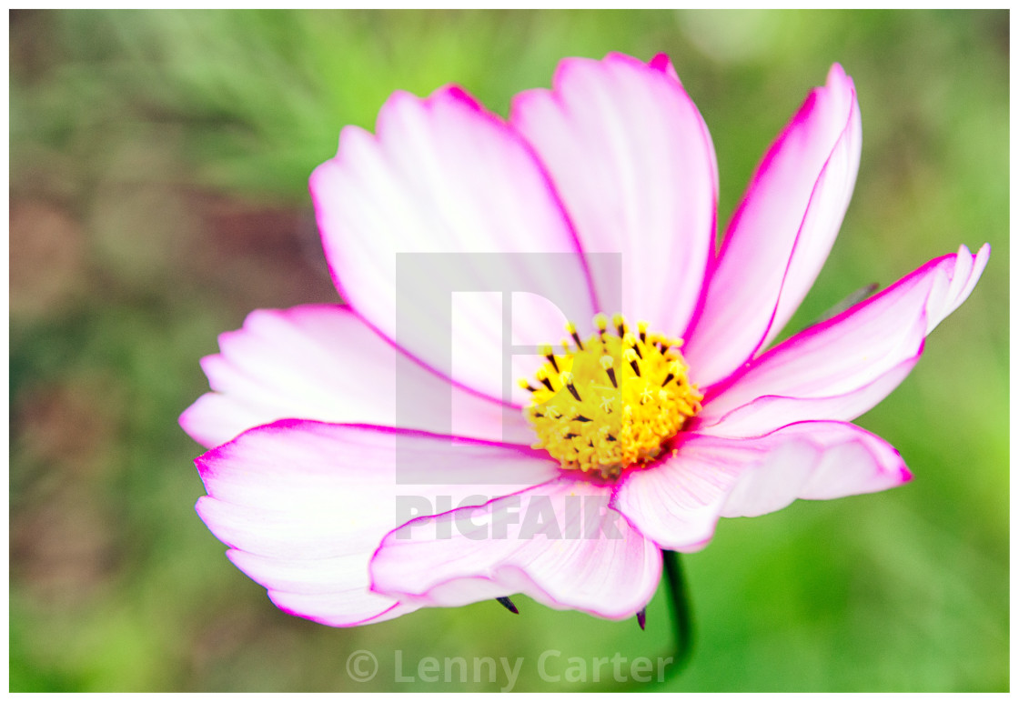 """Full Bloom"" stock image"