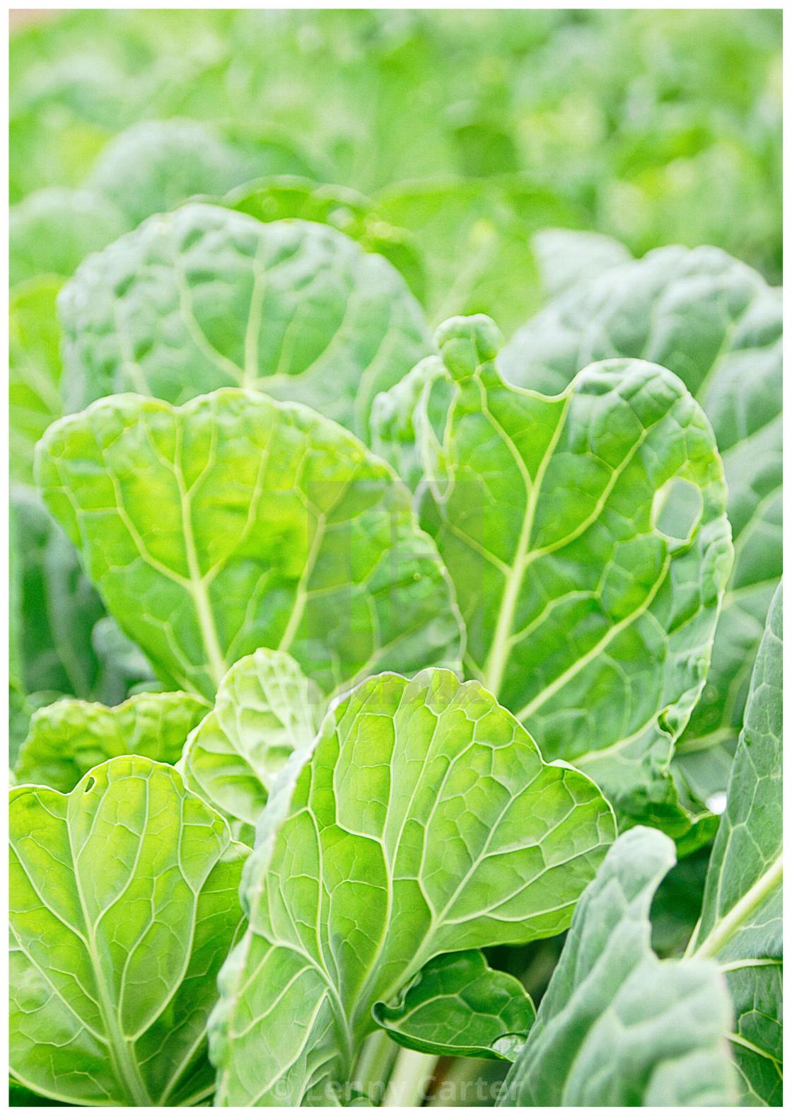"""Leafy Greens"" stock image"