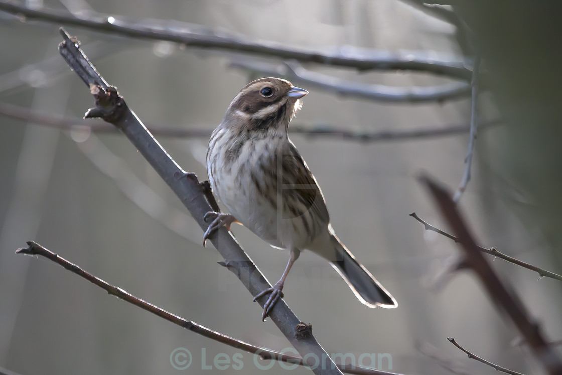 """Young Reed Bunting in Woods."" stock image"