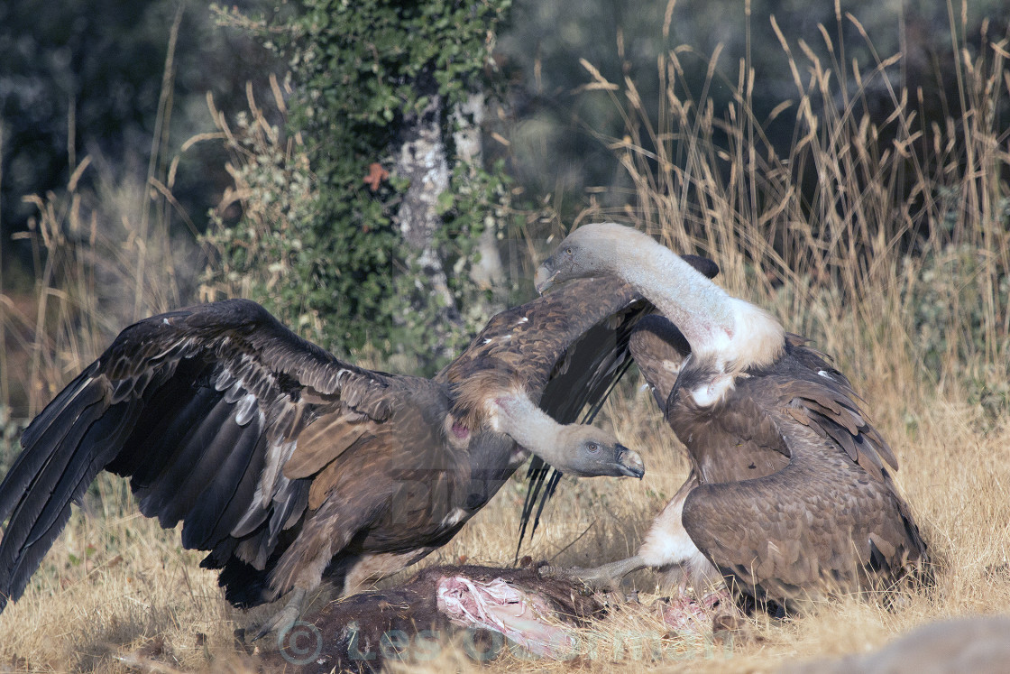 """Two Griffon Vultures"" stock image"