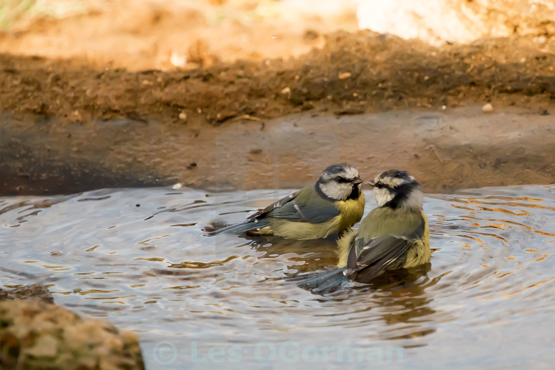 """Two Bathing Blue Tits"" stock image"