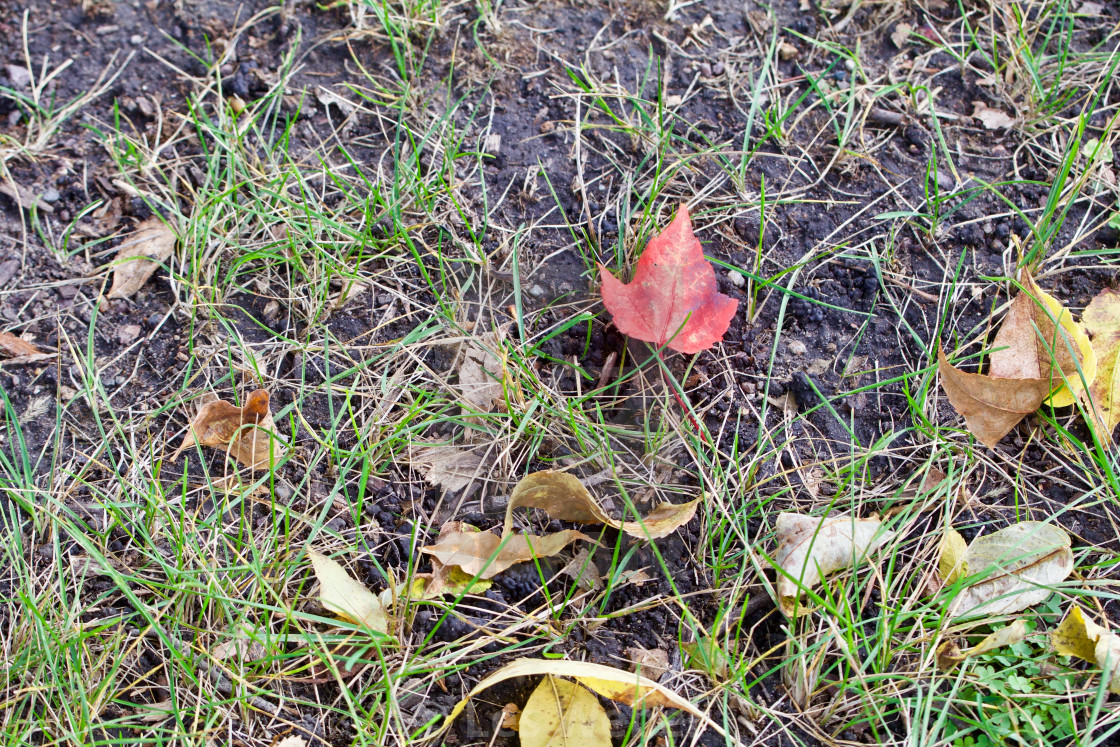 """Single Red Autumn Leaf"" stock image"