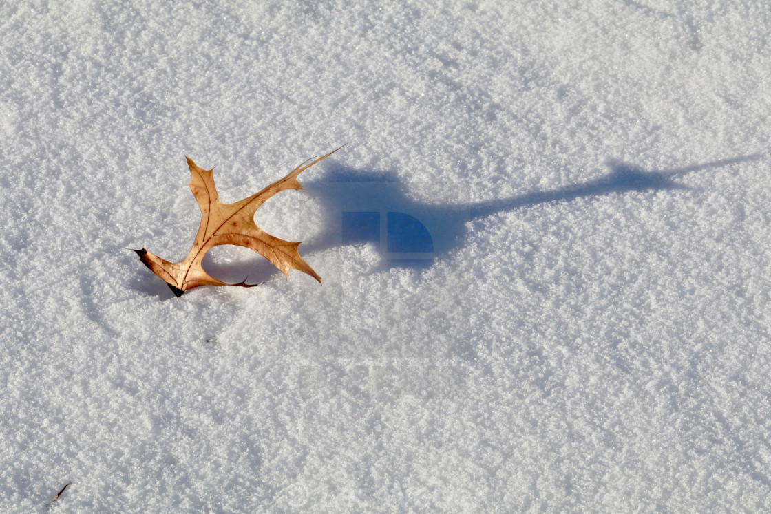"""Oak Leaf in the Snow"" stock image"