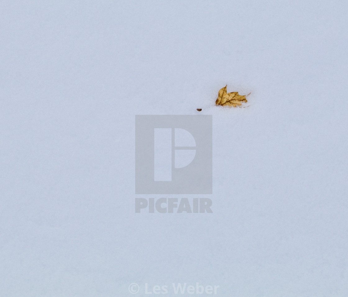 """Single Leaf in the Snow"" stock image"