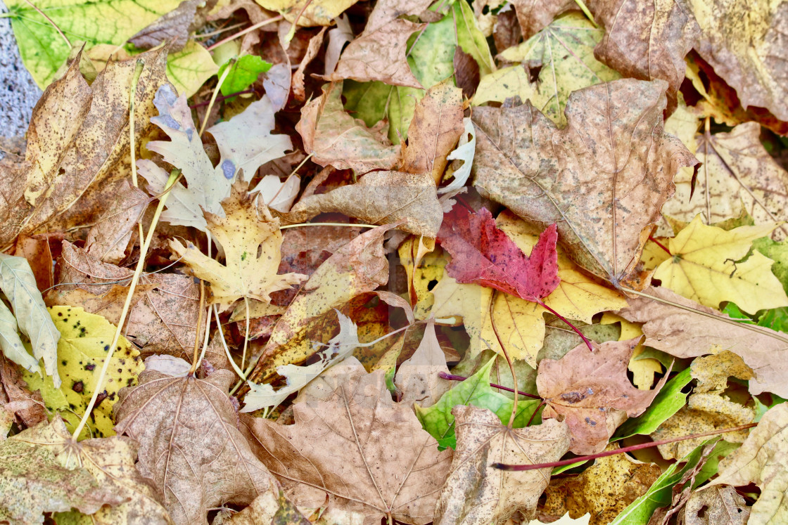 """Multi Colored Autumn Leaves"" stock image"