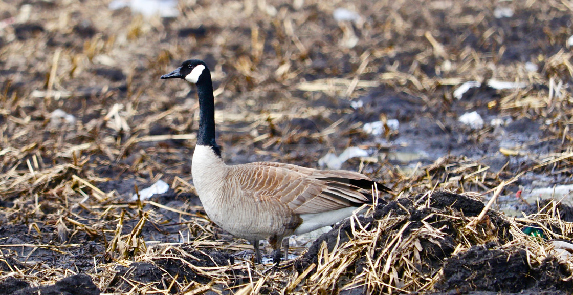"""""""Canadian Goose"""" stock image"""