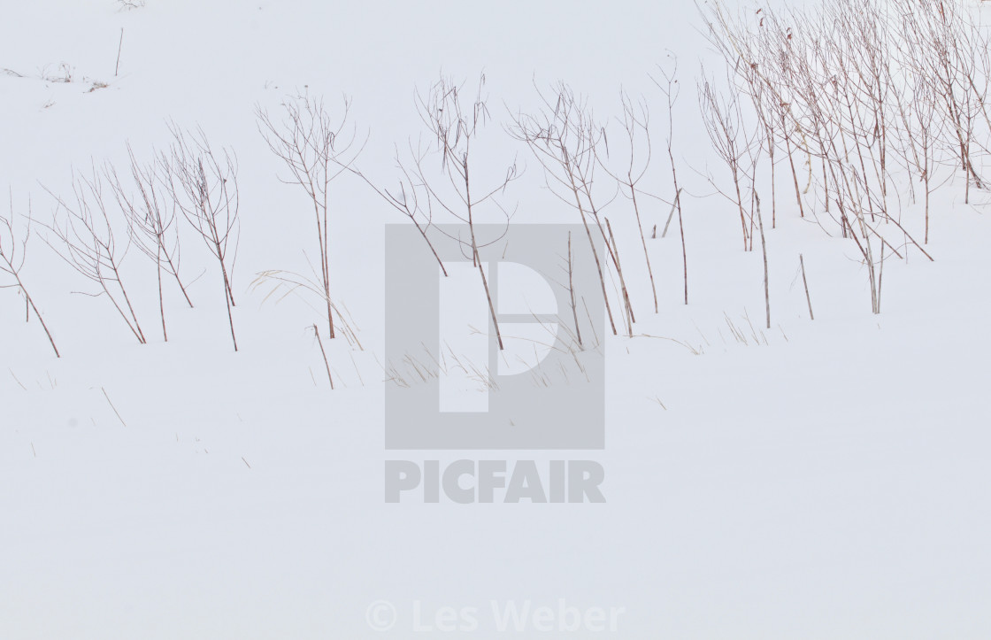 """Bare Stems on a Snowy Prairie"" stock image"