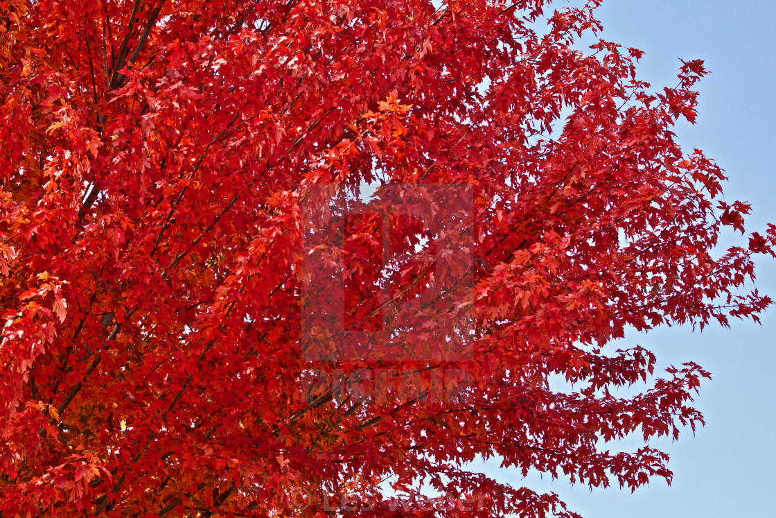 """Red Maple Autumn"" stock image"
