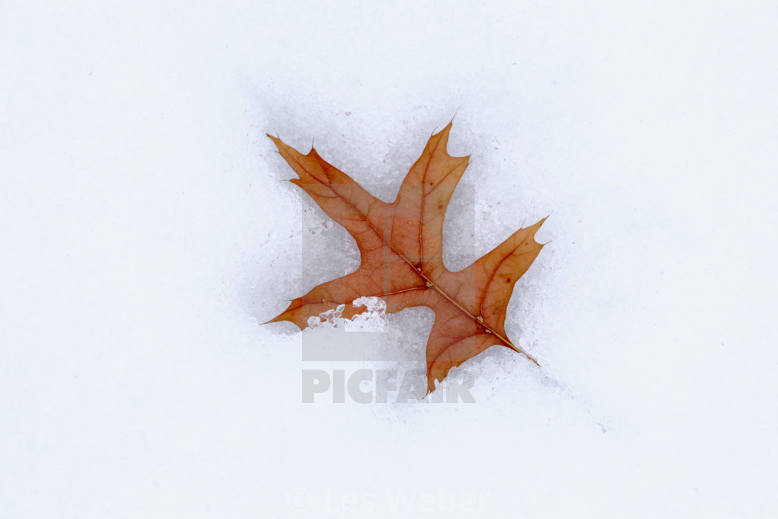 """Winter Oak Leaf"" stock image"