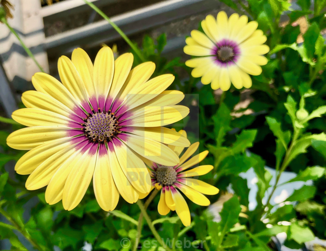 """A Yellow Painted Daisy"" stock image"