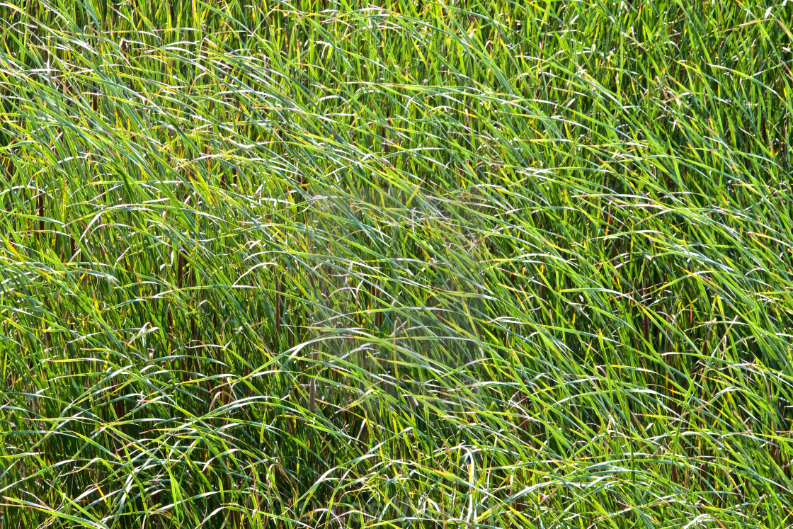 """Swamp Grass Background"" stock image"