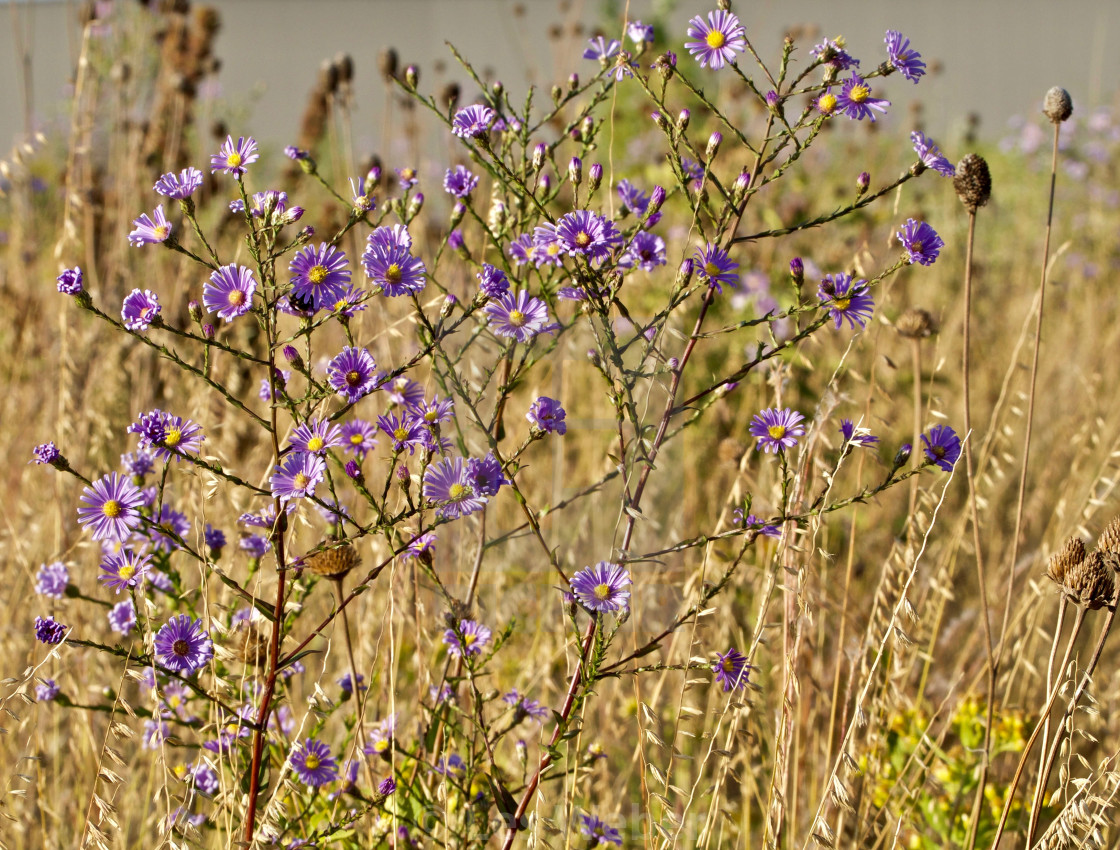 """Purple Prairie Flowers"" stock image"