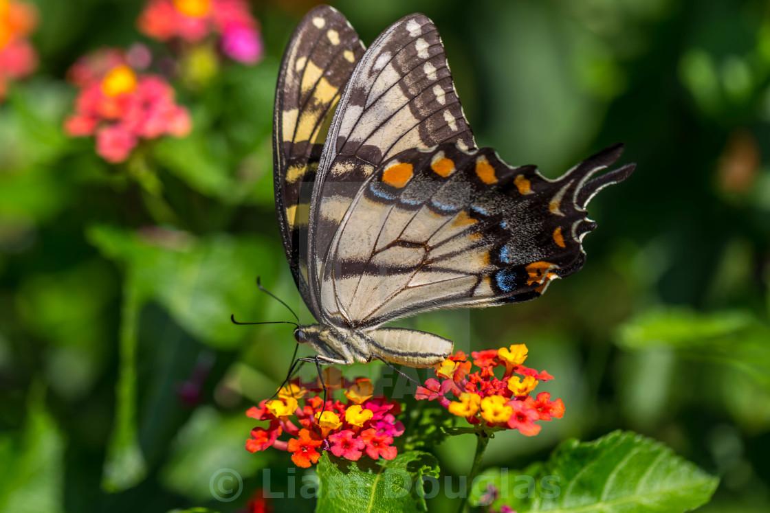 """Eastern Tiger Swallowtail"" stock image"