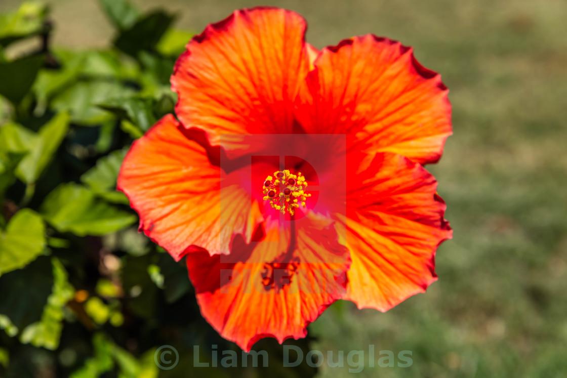 """Hummingbird Blossom"" stock image"