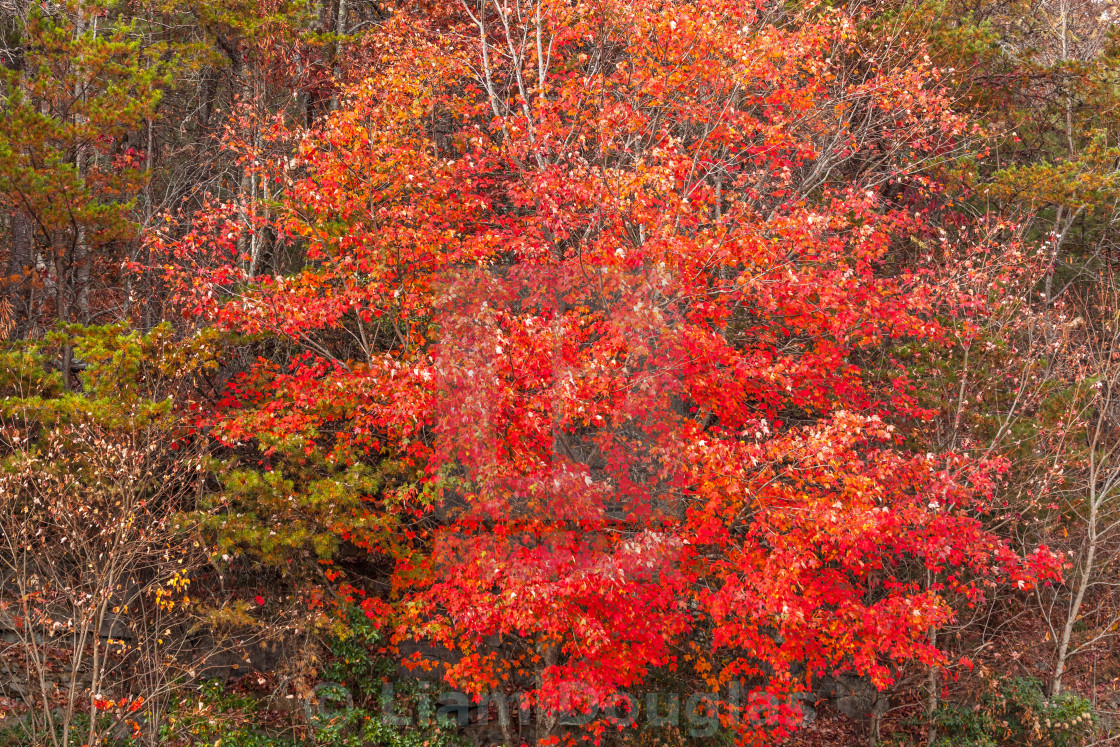 """Autumn Red"" stock image"