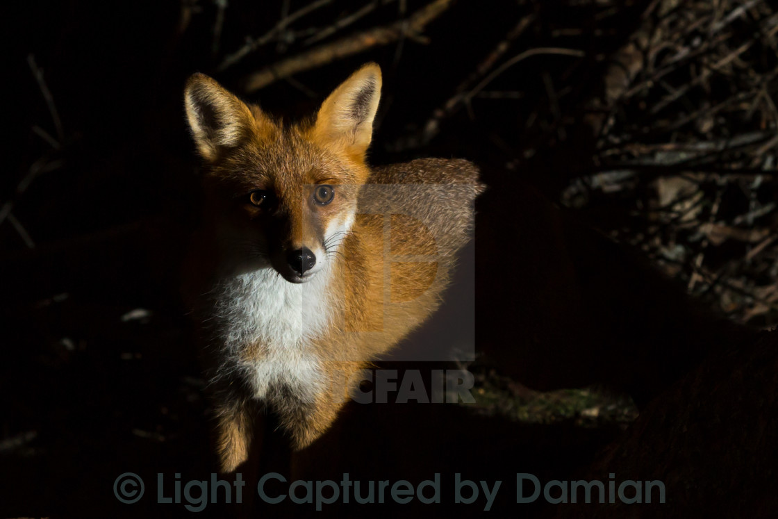 """Wild fox staring at you"" stock image"