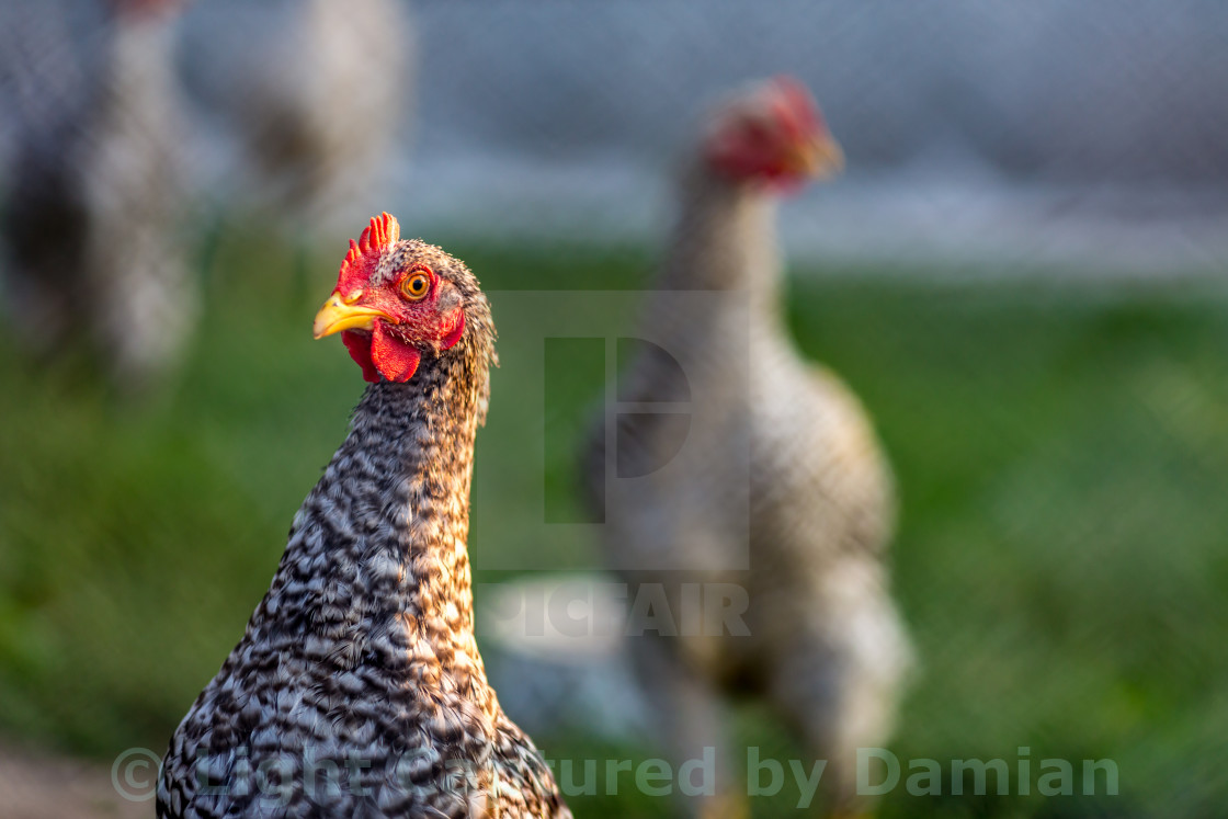 """Head-shot of chicked in garden through fence"" stock image"