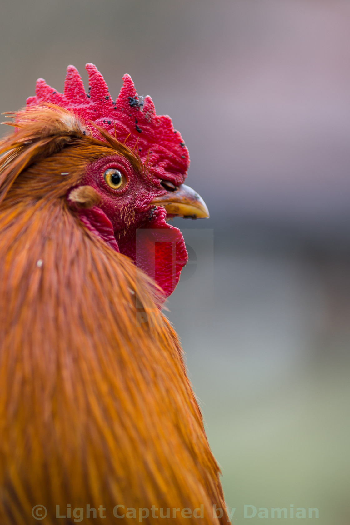 """A colorful head of a rooster"" stock image"
