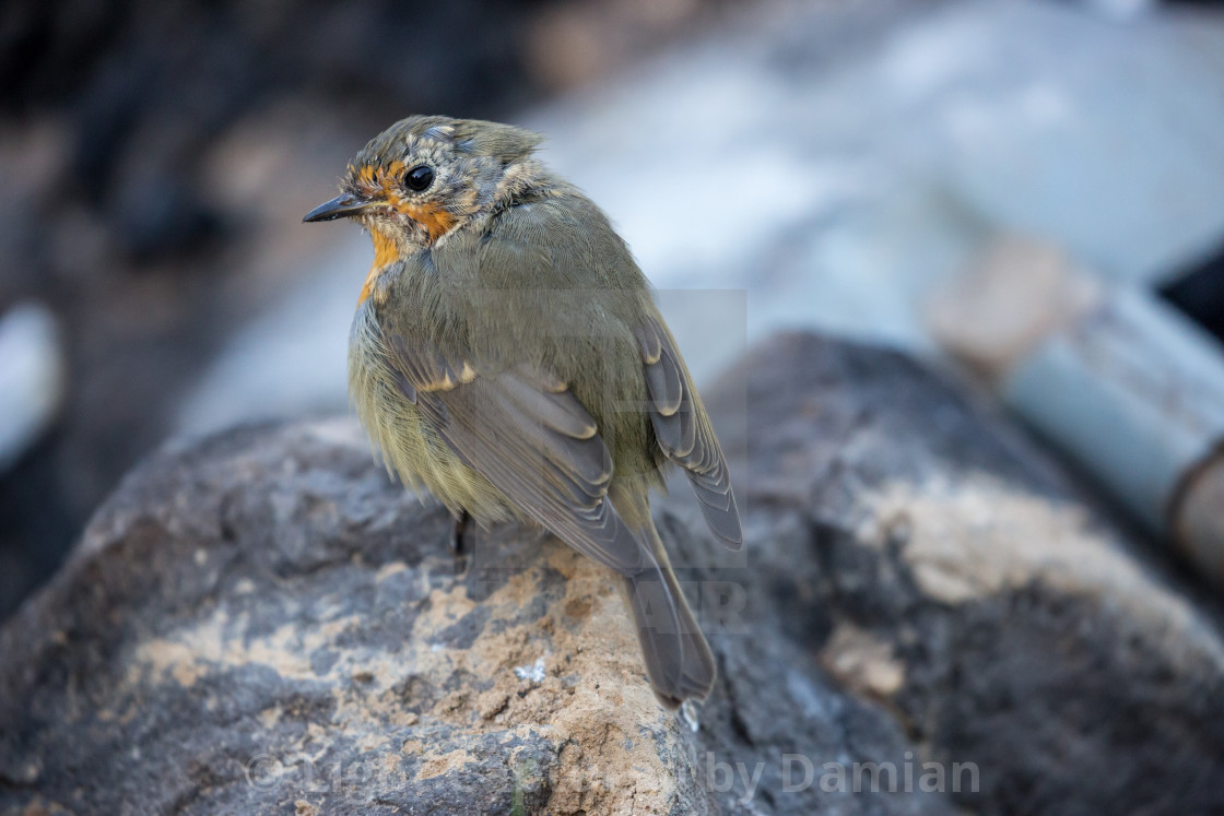 """European Robin bird standing on a rock"" stock image"