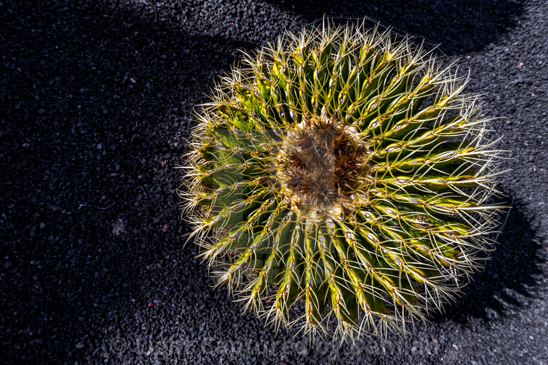 """Echinocactus grusonii, barrel cactus, Lanzarote"" stock image"