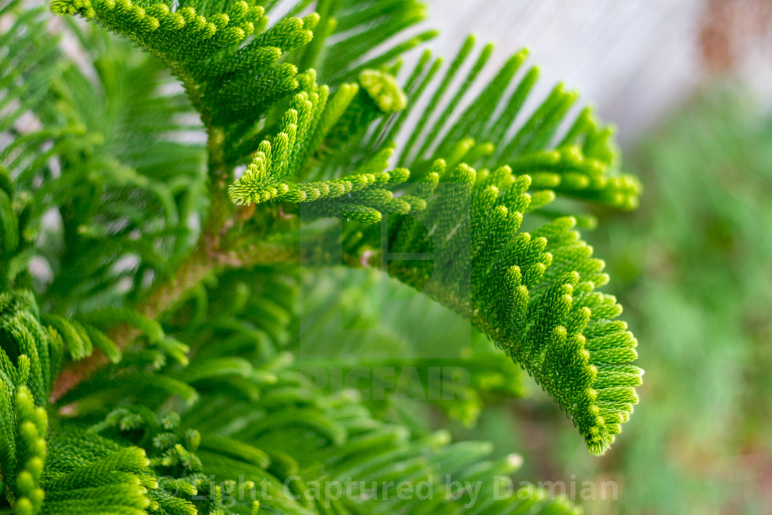 """Young green branch of pine-tree, close-up"" stock image"