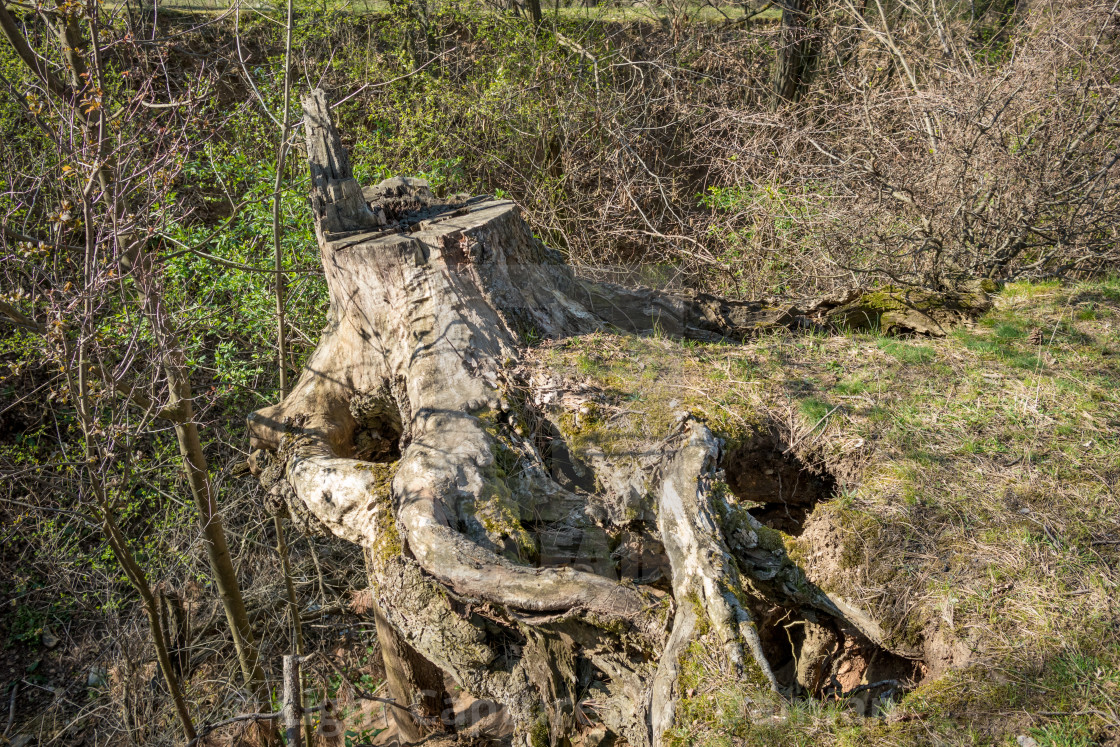 """Old tree stump covered with moss"" stock image"