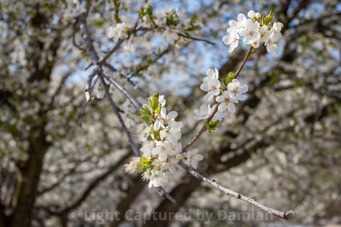 """Beautiful flowers of wild plum blossoms"" stock image"