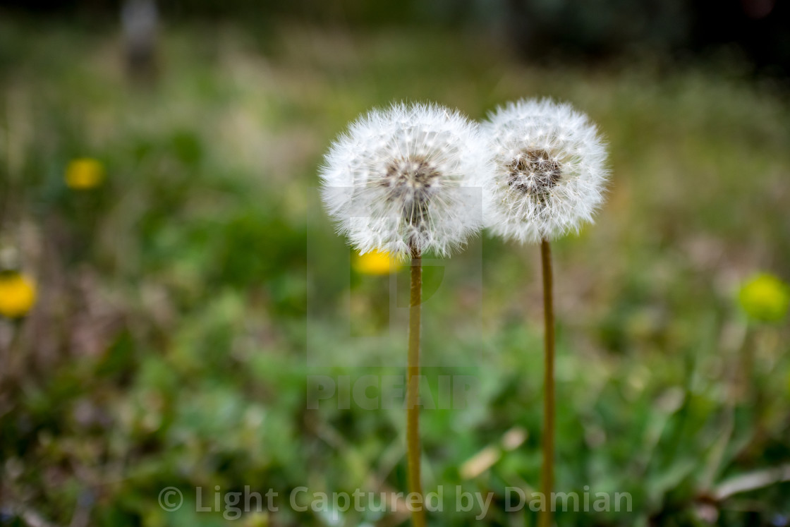 """Two dandelions, green bokeh background"" stock image"