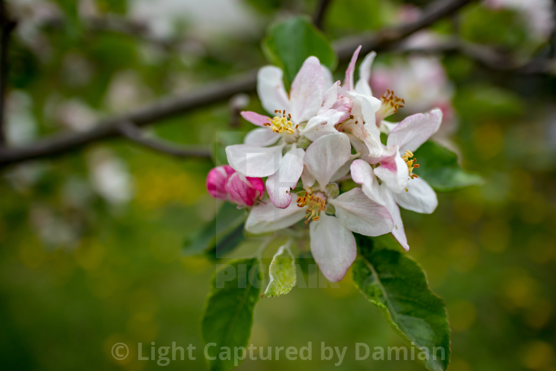 """""""Pear blossom, blurred background, early spring"""" stock image"""