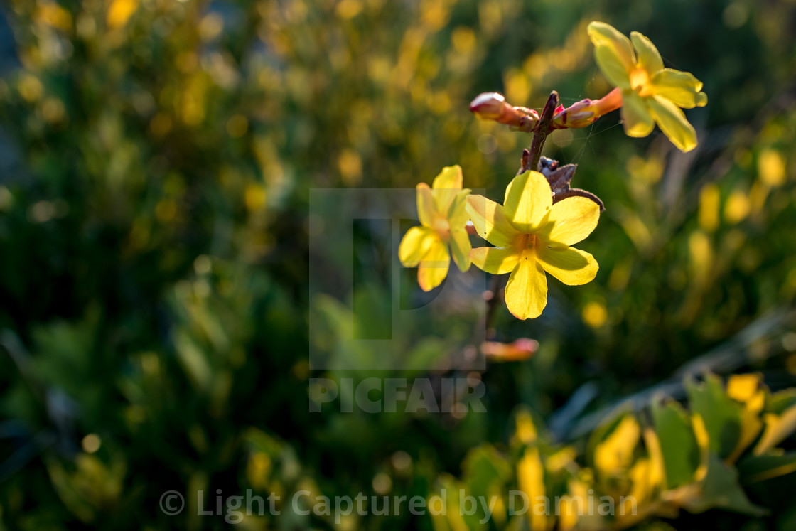 """Flowering bush branch yellow isolated blossom"" stock image"
