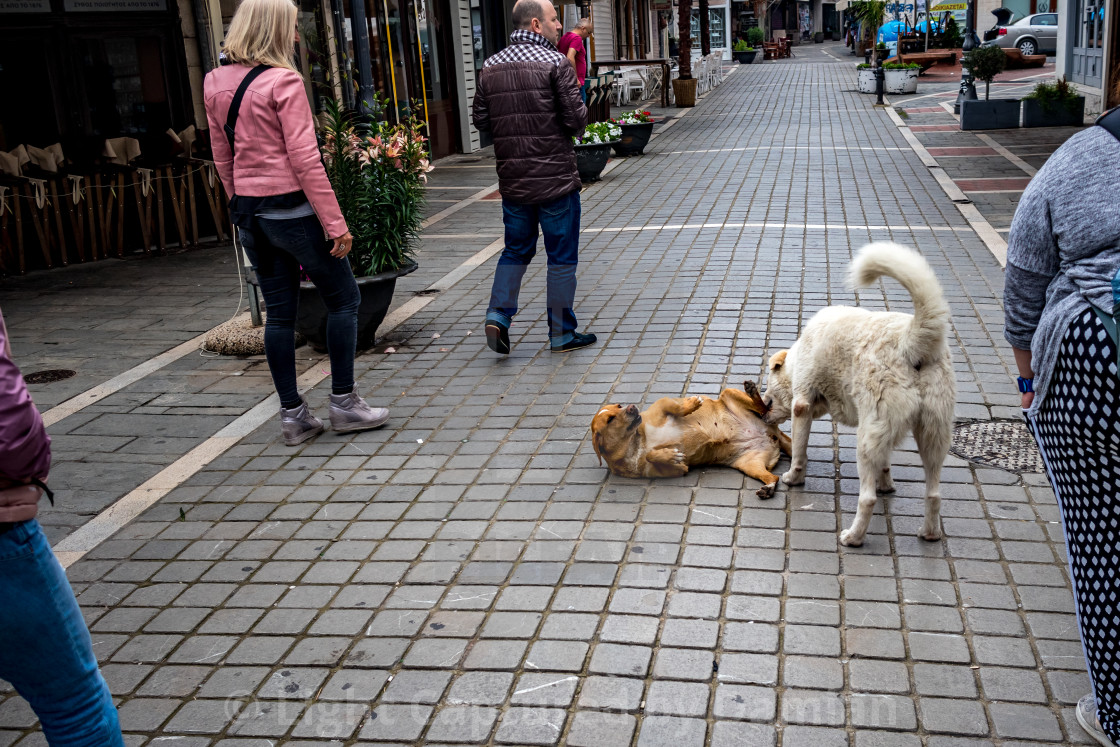 """Stray dogs fighting among people, Ioannina, Greece"" stock image"