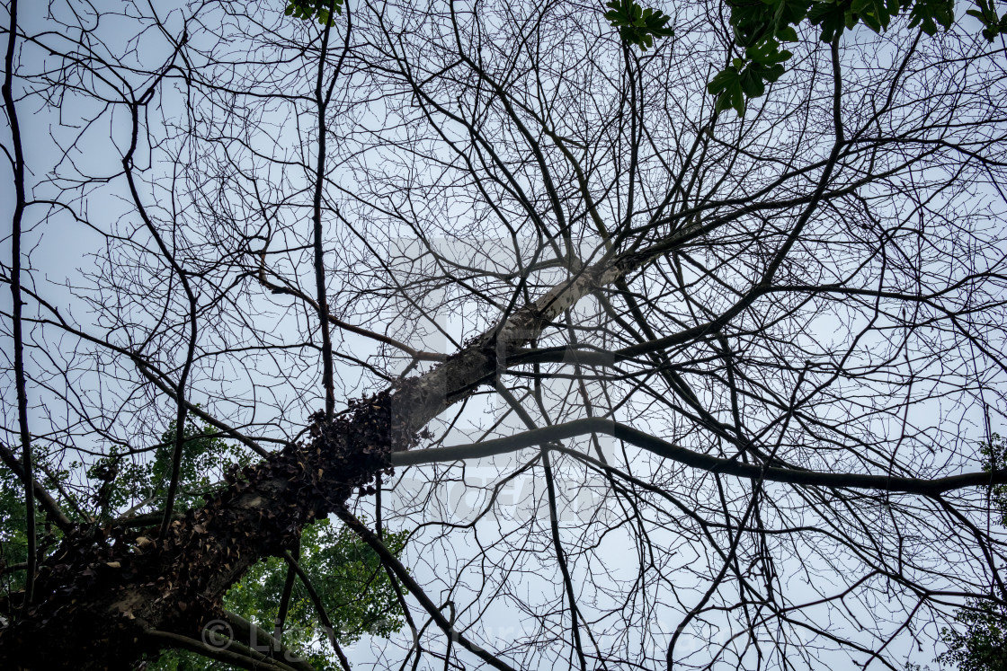 """Trunk and branches of bare tree against white sky"" stock image"