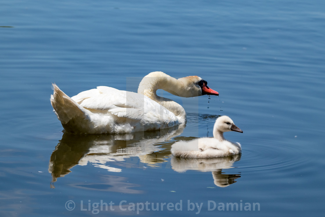 """Swans in Pamvotida lake, Ioannina Epirus, Greece"" stock image"