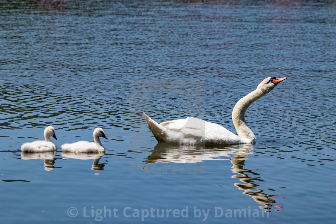 """Swans in Pamvotida lake, Ioannina Epirus, Greece"" stock image"