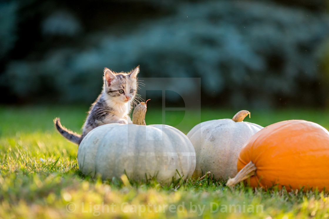 """""""Cute kittens play and sit around pumpkins"""" stock image"""