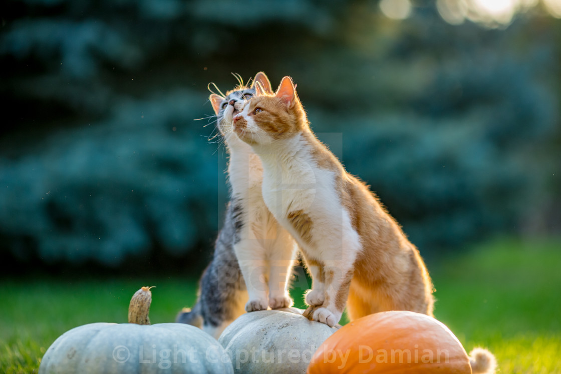 """Cute kittens play and sit around pumpkins"" stock image"